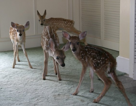 Mule Deer & white tail  fawns