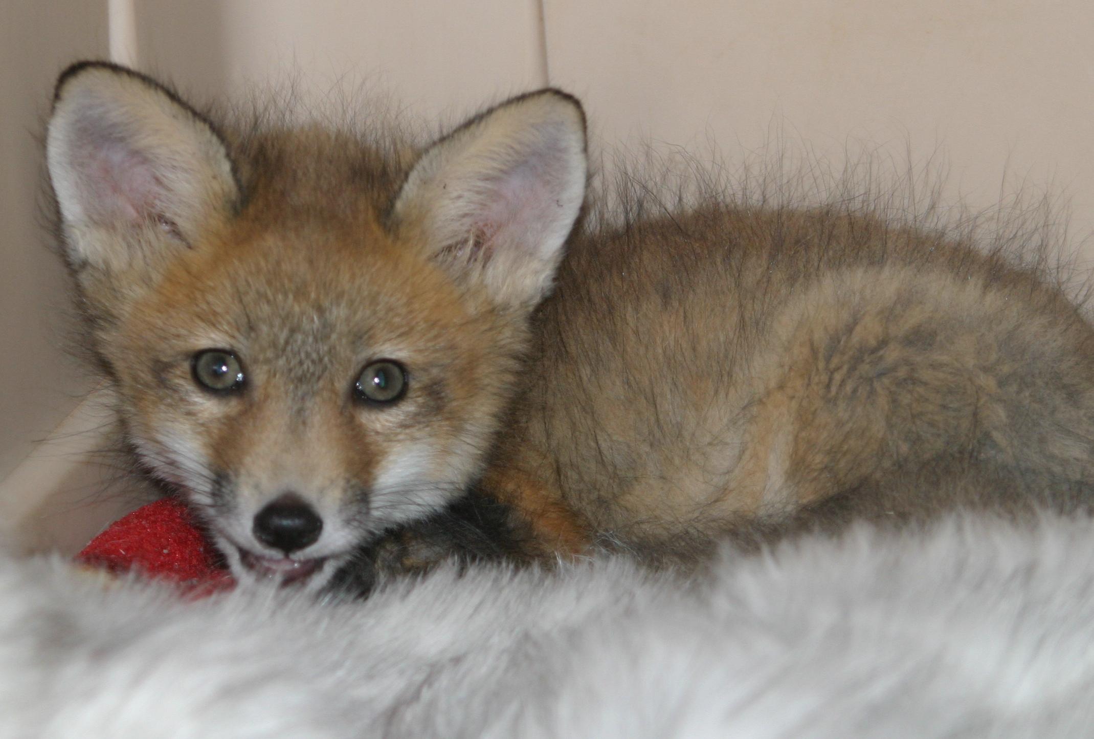 "Red fox kit- ""Renaud"""