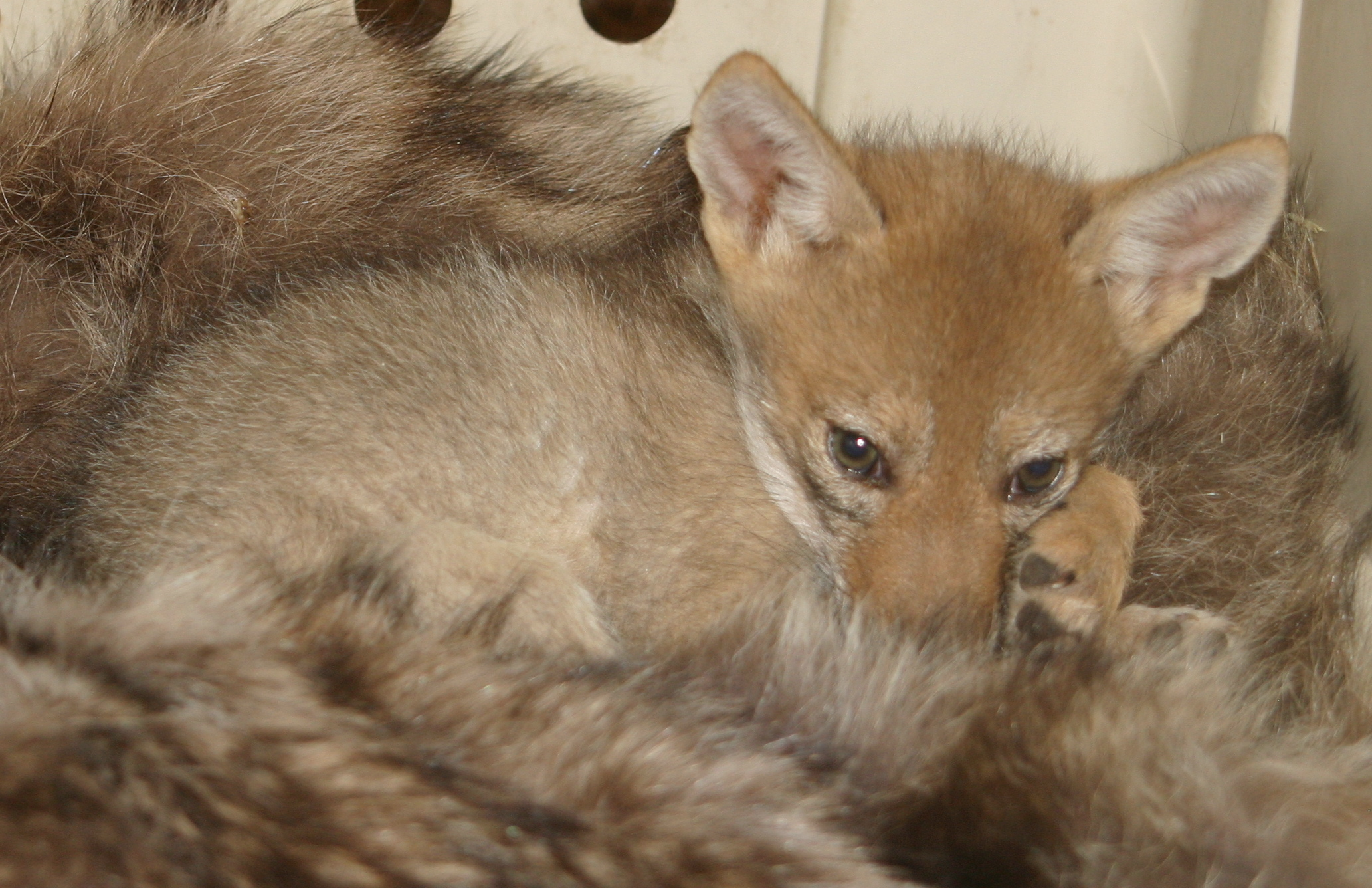 "Coyote pup- ""Carla"""